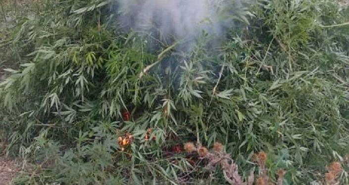 В Московском районе Чуйской области милиционеры и работники местных айыл окмоту уничтожили посевы конопли площадью в 3,5 гектара