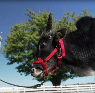 Как выглядит самый маленький бык в мире