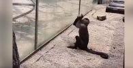 Находчивая обезьяна пыталась сбежать из зоопарка Китая, разбив стекло вольера заостренным камнем.