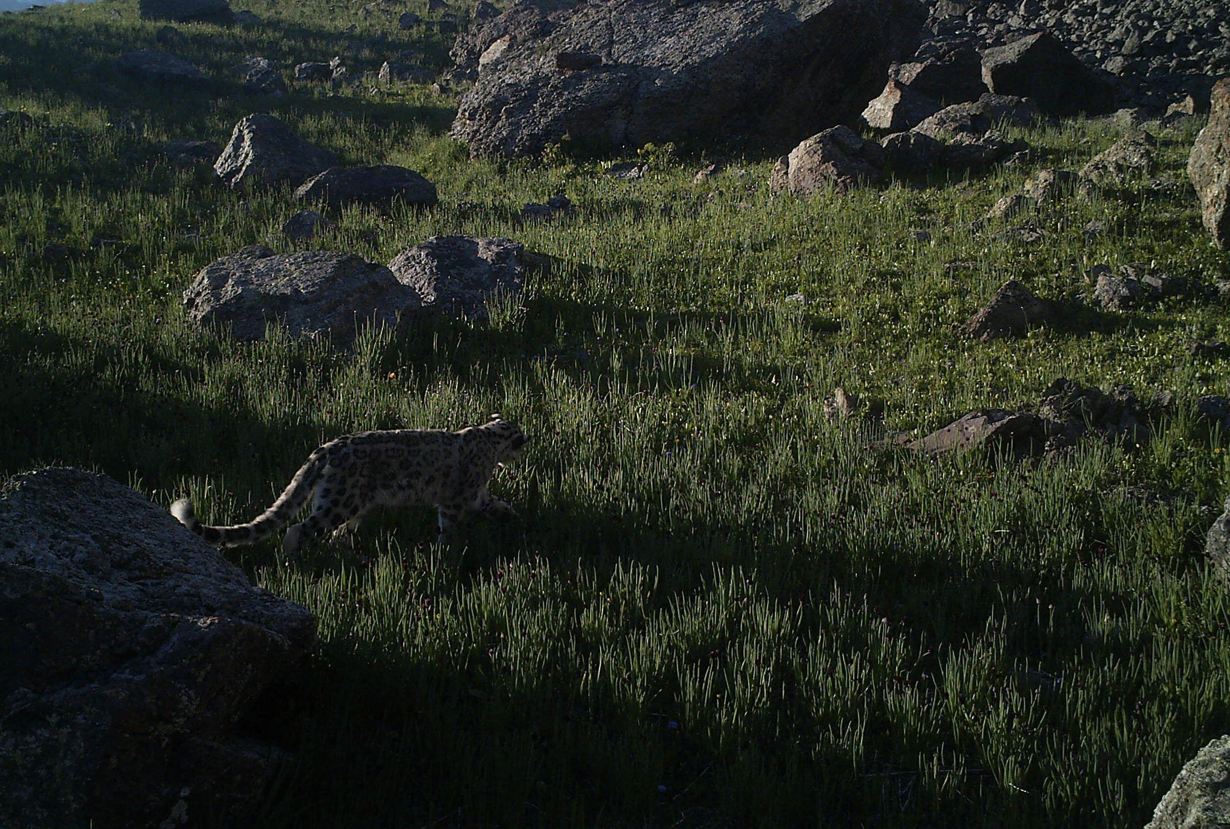 Фотоловушки запечатлели краснокнижного снежного барса на зеленых травах горных лугов