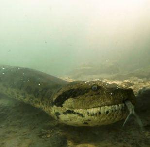 В Бразилии аквалангисты Бартоломео Бове и Хука Игарапе, исследуя дно реки Формозу, наткнулись на гигантскую анаконду.