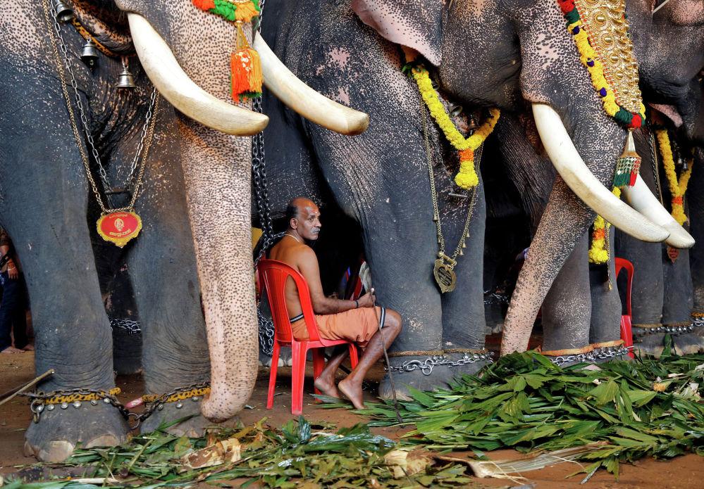 Слоны, участвующие в торжествах по случаю Дня урожая (Онам) в Индии