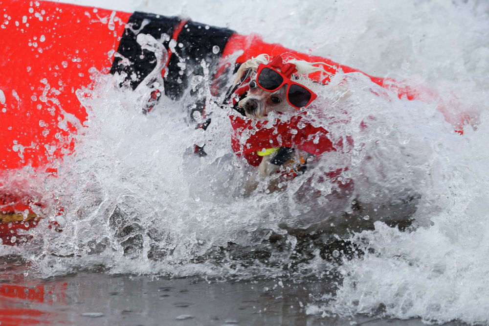 Ежегодные соревнования по серфингу для собак Surf-A-Thon в Калифорнии (США)