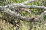 Американский фотограф Кевин Дули снял на видео смертельную схватку ягуара и каймана в ходе своего путешествия по Бразилии.