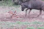 В южноафриканском национальном парке Крюгера туристы стали свидетелями душераздирающей сцены — шакалы напали на новорожденного детеныша антилопы гну.