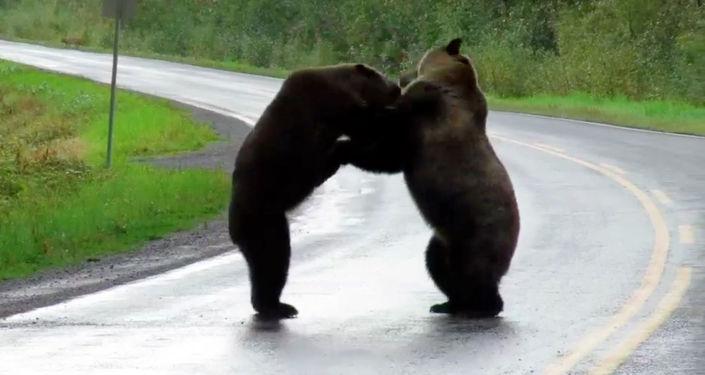 В Канаде на видео сняли схватку двух огромных медведей гризли. Случай произошел в провинции Британская Колумбия.