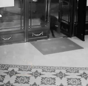 В Китае дикий кабан проник в популярный клуб Karaoke TV и прервал веселье посетителей заведения. До приезда спасателей животное удалось поместить под арест.