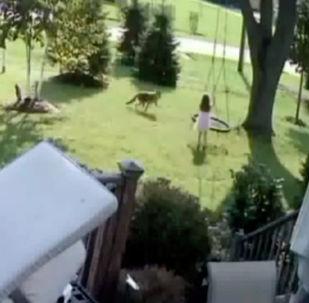 Маленькая жительница штата Иллинойс (США) Кристина Пржибильски сумела избежать нападения койота, погнавшегося за ней во дворе дома.