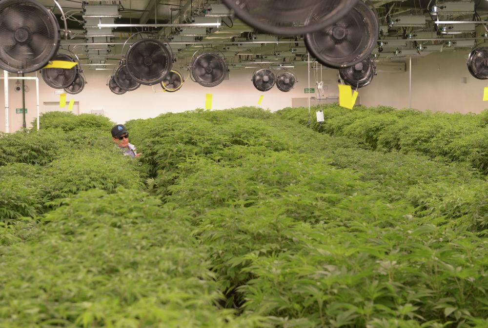 Выращивание медицинской марихуаны в Уругвае