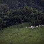 Коровы пасутся на пастбище вблизи Атлантического леса (Бразилия)