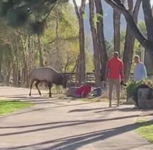В американском штате Колорадо разъяренный олень в парке напал на людей. Одна женщина и мужчина получили травмы.