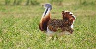 Краснокнижная птица Дрофа. Архивное фото