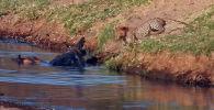 В национальном заповеднике Крюгера в ЮАР туристы стали очевидцами, как голодный леопард попытался завладеть свежей добычей крокодила.