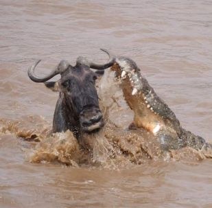Австралийский любитель дикой природы Крис Брей снял на видео, как антилопе гну, переплывавшей через реку, чудом удалось избежать смерти.