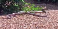 Этот вид змей считается одним из самых ядовитых на планете, их яд вызывает у людей конвульсии, отказ почек и остановку сердца.