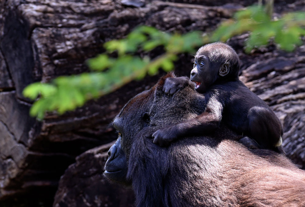 Бразилиянын Белу-Оризонти шаарындагы зоопаркта баласын мойнуна отургузуп алган горилла