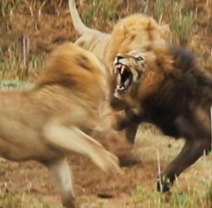В южноафриканском природном парке Крюгера на глазах у шокированных посетителей в схватке сошлись старый лев с двумя молодыми сородичами.