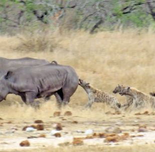 Как бы ни была жестока эта сцена, она наглядно показывает взаимодействие и выживание зверей в естественных условиях.