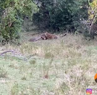 В природном заповеднике Масаи-Мара в Кении на видео туристов попала ожесточенная схватка питона и леопарда.