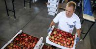 Мужчина раскладывает коробки с яблоками. Архивное фото