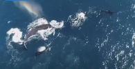 У побережья Австралии рыбаки стали свидетелями нападения стаи косаток на самку горбатого кита с детенышем.