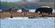 Путеводитель Стейн Джейкобсон вместе со своей группой туристов стали очевидцами захватывающего и кровавого зрелища, в котором львы жестоко наказали нарушителя границ.
