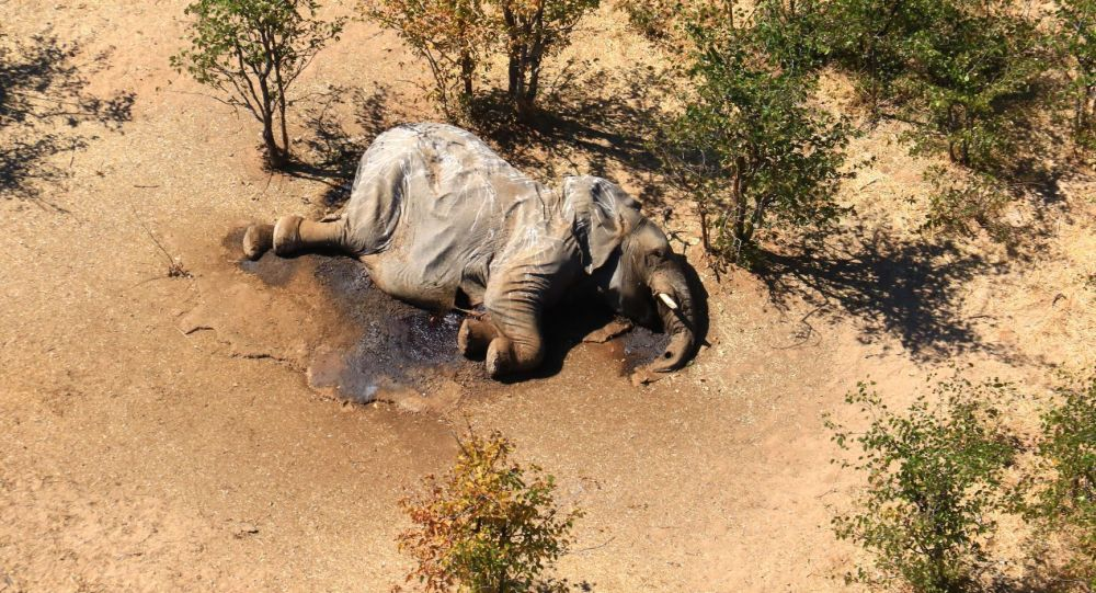 Труп одного из множества слонов, загадочно погибших в дельте реки Окаванго в Ботсване. Архивное фото