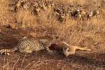Видео снято в Национальном парке Крюгера в Южно-Африканской Республике. Гепарду удалось напасть на импалу — чернопятую антилопу.
