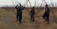 Рабочие на фермерском хозяйстве садовода Арстанбека Сулайманбекова