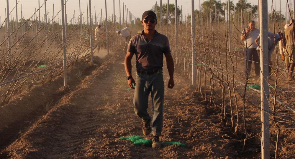 Кыргызстанец Уланбек Ташиев основал садоводческую фирму по выращиванию яблок по технологии интенсивного сада