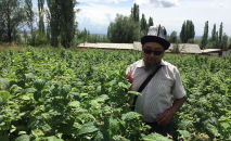 Успешный садовод Аскар Сулайманов из Иссык-Куля