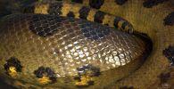 Спящая анаконда в зоопарке. Архивное фото