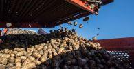 Картошка чогултуу. Архивдик сүрөт