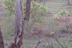 Түштүк Африкадагы Крюгер жаратылыш паркына баргандар арстандын ургаачысы гепарддар тобунун жеп жаткан антилопасын тартып алганына күбө болгон.