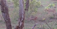 Посетители южноафриканского природного парка Крюгера стали очевидцами, как львица отобрала убитую антилопу-импалу у семейства гепардов.