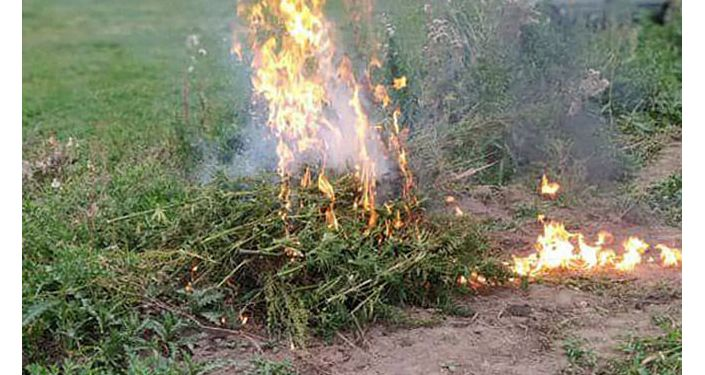 Во время ликвидация незаконных посевов и очагов произрастания дикорастущей конопли и других наркосодержащих растений в Иссык-Кульской области