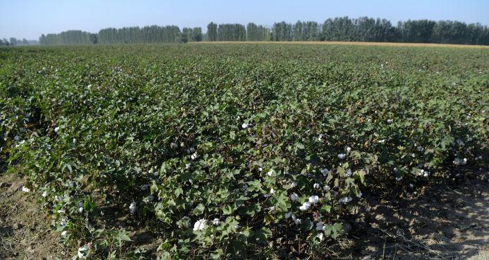 Хлопковые поля в производственно-семеноводческом кооперативе Оомат агро в Кара-Суйском районе. 10 сентября 2020 года