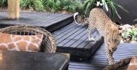 Түштүк Африкада мейманкана эс алуучулары эртең мененки тамак учурунда ресторанга кирип келген кабыланды видеого тартып алышкан.
