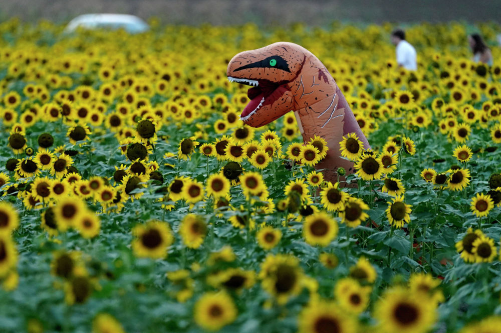 Цветение подсолнухов на ферме в американском штате Канзас.