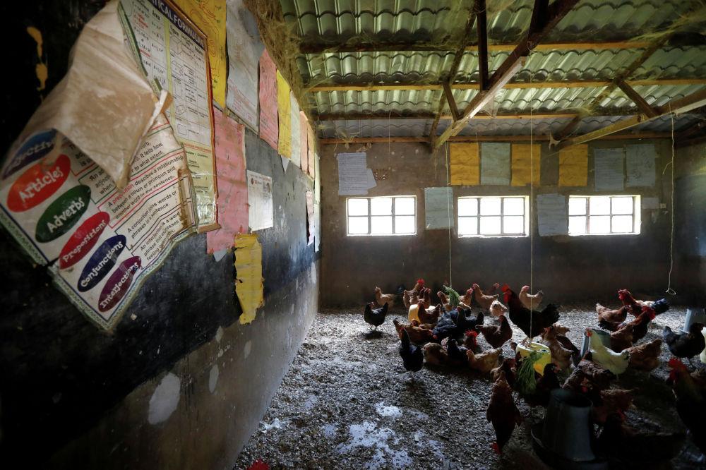 Две кенийские частные школы переоборудовали свои классы в курятники из-за пандемии коронавируса. Правительство Кении ранее распорядилось закрыть школы с марта 2020 года по январь 2021 года. Две школы, которые обычно полагаются на плату за обучение, оказались в состоянии финансового кризиса, вынудившего владельцев превратить классы в курятники, а игровые площадки - в овощные фермы.