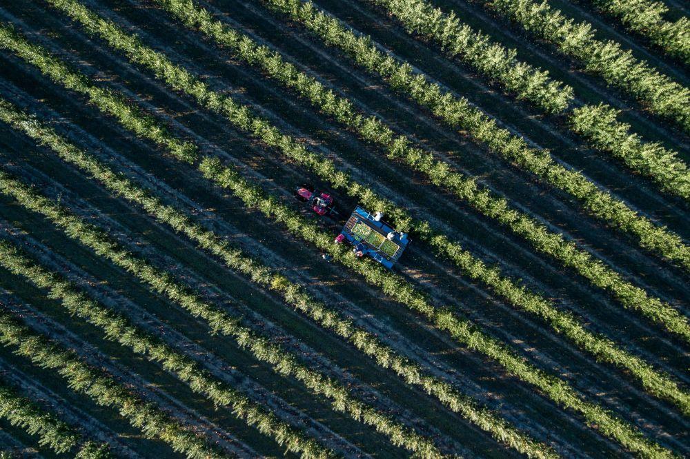 Сбор осенних сортов яблок в садах ООО Сады Предгорья в Краснодарском крае (Россия)