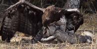 Түштүк Африкадагы Крюгер улуттук паркында шумкар менен ири кескелдириктин кармашы беш саатка созулган.