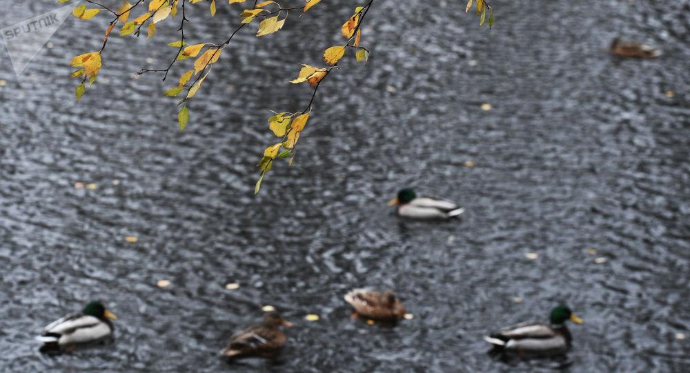 Утки в пруду. Архивное фото