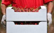 Сбор урожая черешни. Архивное фото