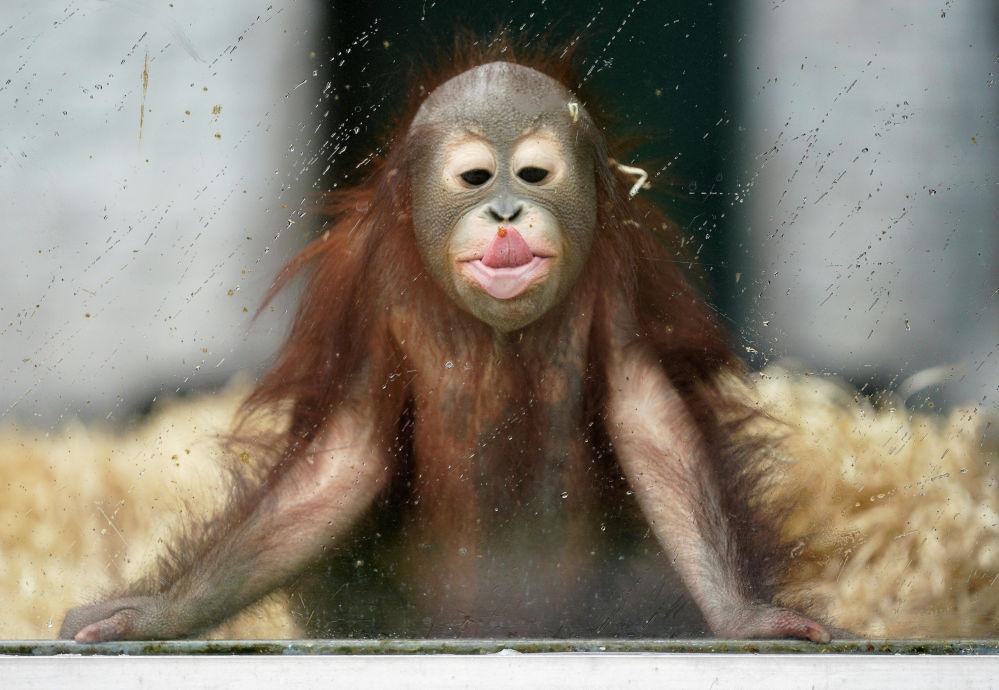 Орангутанг в своем вольере в городском зоопарке Калининграда, Россия. 17 сентября 2020 года