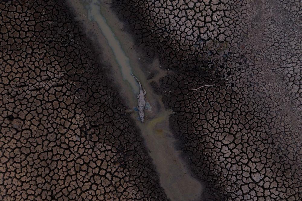 Мертвый аллигатор, на территории заболоченной территории Пантанала (Бразилия). 12 сентября 2020 года