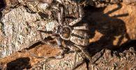 Гигантский паук на стволе дерево в лесу. Архивное фото