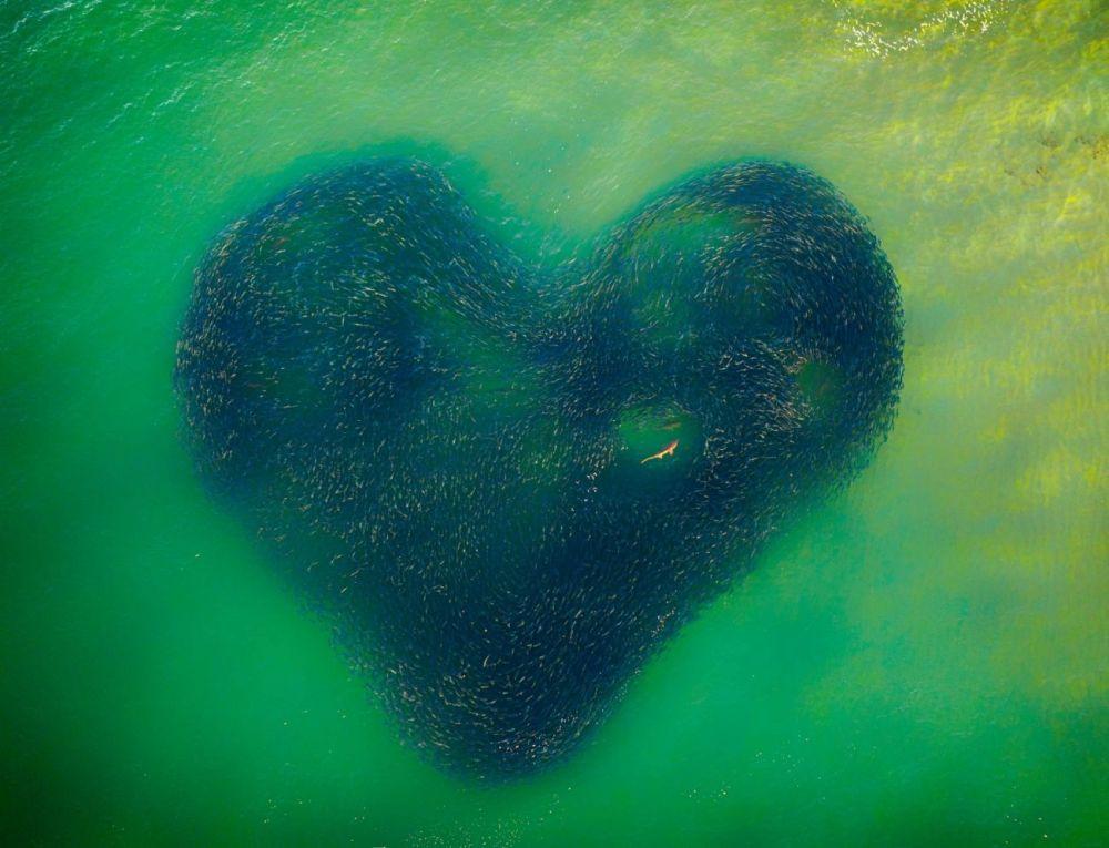 Снимок Джима Пико (Jim Picôt) жюри признало фотографией года. Кадр был сделан зимой — акула вызвала переполох в косяке рыбы, и он принял форму сердца.