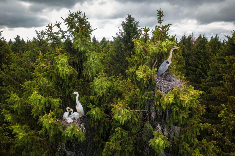 Дмитрий Вилюнов запечатлел гнезда цапель, которые, вопреки распространенному мнению, вьют свои жилища не в камышах и на болотах, а на вершинах деревьев. Фотография Где живут цапли победила в категории Дикая природа.