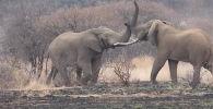 Драматическую сцену с участием вожака слонов сняли на видео посетители национального парка Крюгера в ЮАР.